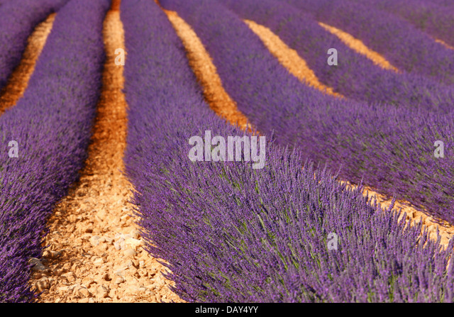 Lavender Provance - Stock Image