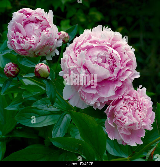 Pink peony variety Shirley - Stock Image