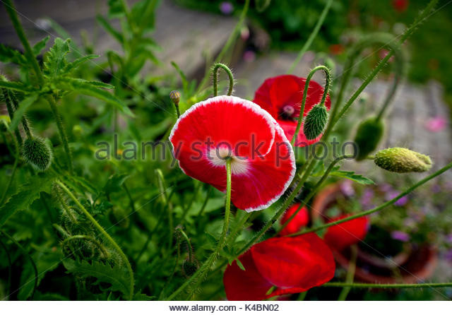 Bright red Poppy, Papaver in summer - Stock Image