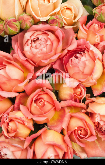 Peach coloured roses - Stock Image