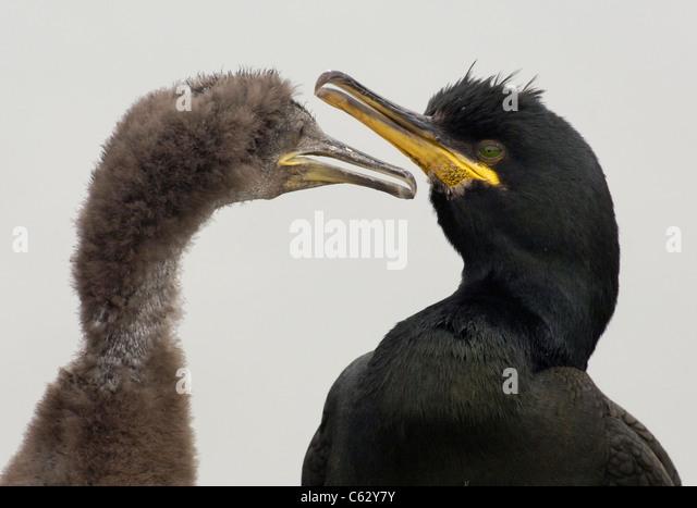 SHAG Phalacrocorax aristotelis An adult and it's growing chick against a milky white overcast skyFarne Islands, - Stock-Bilder