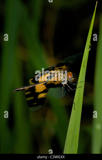 Common Picture Wing (a.k.a Variable Glider) Rhyothemis variegata dragonfly - Stock Image