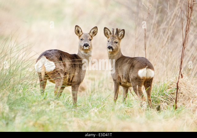 A Roe doe and her companion buck feed in a pasture during springtime, Norfolk, England - Stock Image