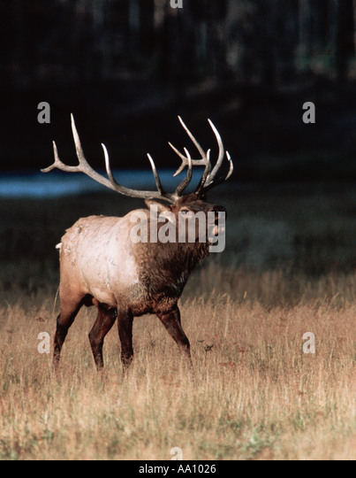 A 6x6 bull elk or wapiti Cervus canadensis bugles early morning in Yellowstone NP Wyoming COPYRIGHT DUANE BURLESON - Stock Image