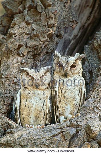 Collared scops owl, Ranthambhore National Park, India - Stock-Bilder