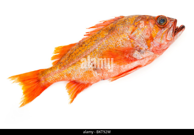 Red Fish with white background - Stock Image