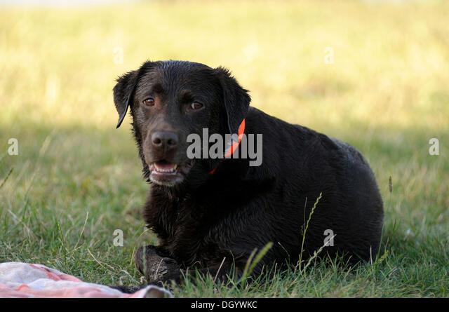 Wet Labrador Retriever lying on a meadow - Stock Image