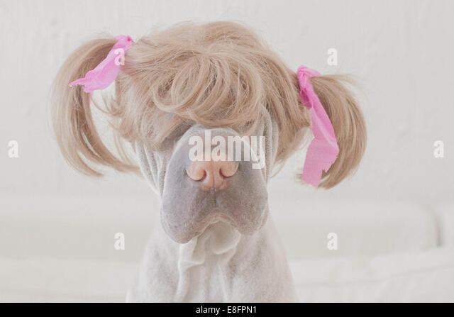 Dog wearing wig with pigtails - Stock Image
