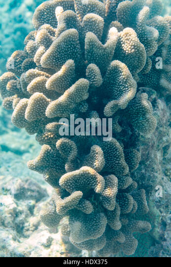 Reef corals on the Maldives, Indian Ocean - Stock Image