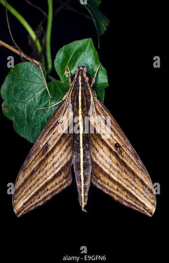 Moth, Malaysia - Stock Image
