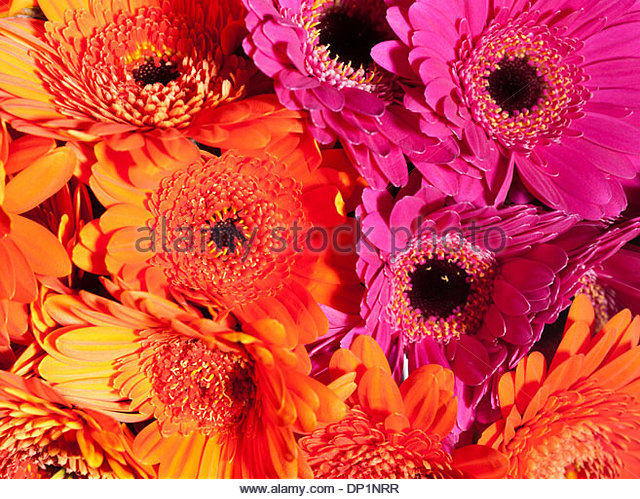 Close up of daisies - Stock Image