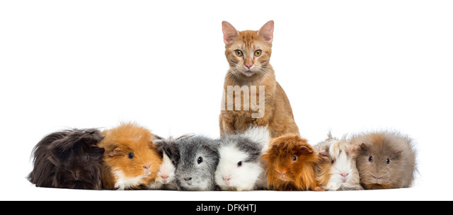Guinea Pigs with a cat in a row against white background - Stock Image