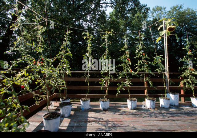 New Jersey Fairlawn cherry tomato vines gardening deck growing buckets - Stock Image