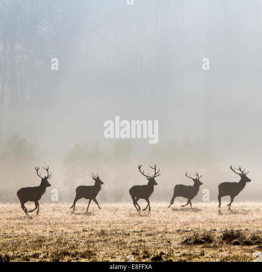 Deer trotting in wild - Stock Image