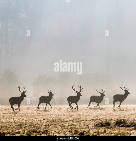 Row of deer running in park, Berkshire, England, UK - Stock Image