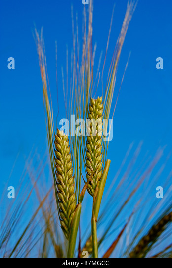 a sheaf of golden wheat - Stock Image