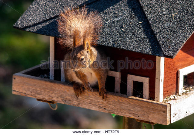 Squirrel eating sunflower seeds in the birdhouse. - Stock Image