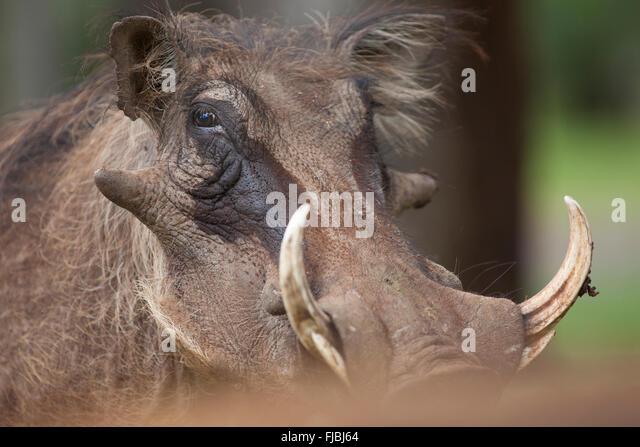 Warthog head - Stock Image