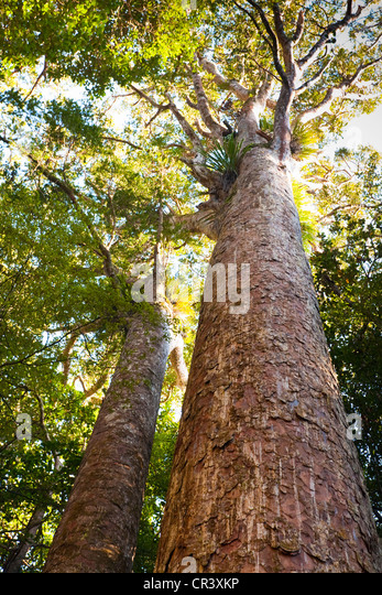 These awesome, ancient trees have very shallow roots, easily damaged, which means we can't get very close to - Stock Image