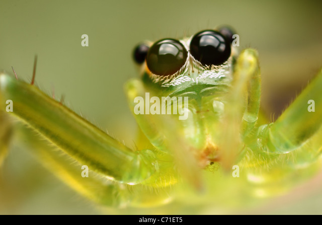 Photo is a green transparent jumper spider at the moment of jump. - Stock-Bilder