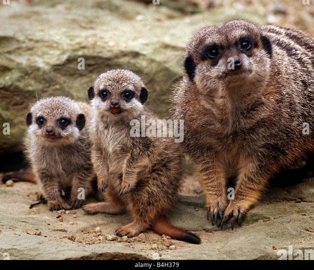 Mother Meerkat keeps a close eye on her two new baby meerkats whose names haven t been decided due to the genders - Stock Image