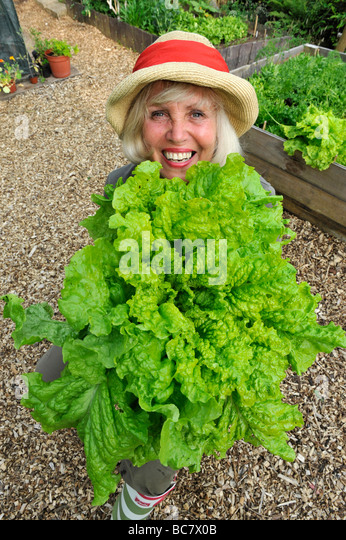 A female british gardener holds up a giant lettuce grown in raised beds, uk - Stock-Bilder