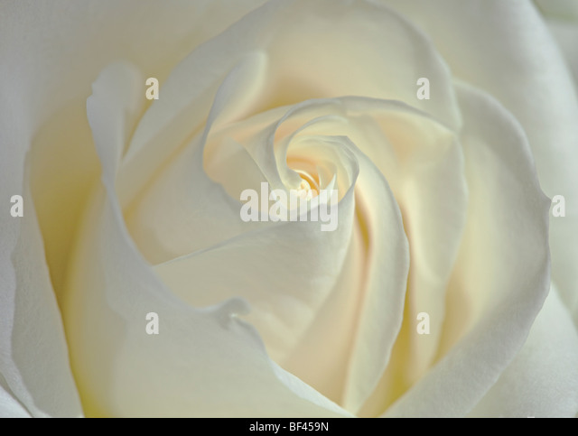 Frame filling close up of a delicate creamy white rose - Stock Image