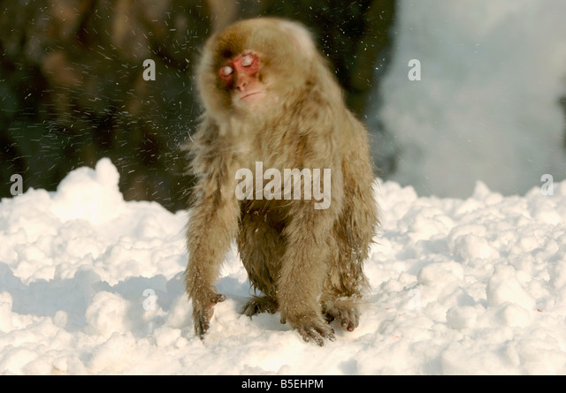 Japanese macaque Macaca fuscata shaking off snow in winter in Jigokudani monkey park Japan - Stock Image