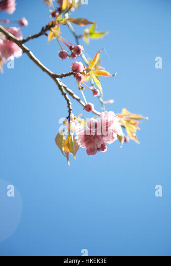 pink cherry tree flowers. pink, growth, fresh, flower bud. - Stock Image