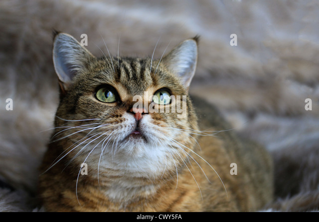 Tabby cat - Stock Image