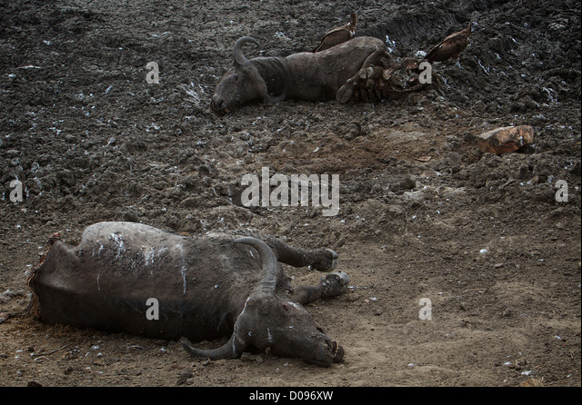 Dead cape water buffalo  Buffalo Syncerus caffer due to drought   Mikumi National Park . Southern Tanzania. Africa - Stock Image