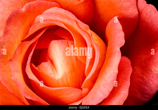 Orange Rose Blossom - Stock Image
