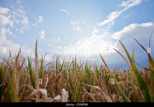 Corn field under blue sky - Stock Image