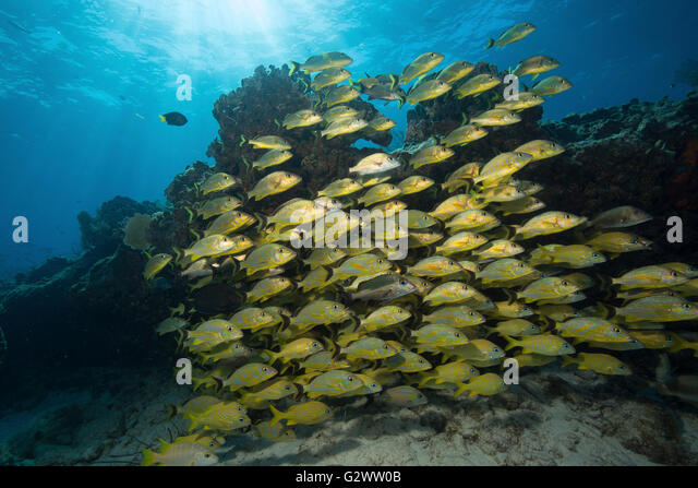 Blue stripe grunt school near the protection of a coral ledge. - Stock-Bilder