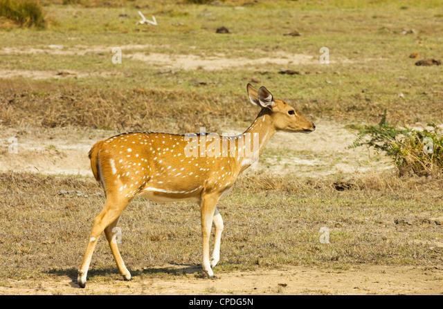 Sri Lankan axis deer or Ceylon spotted deer in Kumana National Park, formerly Yala East, Kumana, Eastern Province, - Stock Image