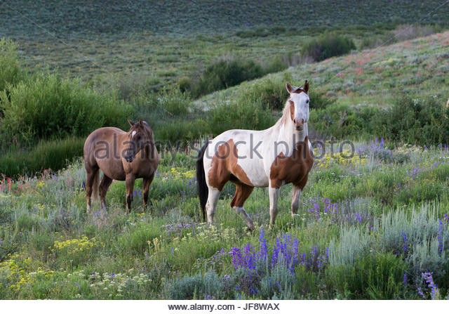 Two wild horses, Equus caballus, in a valley full of wildflowers. - Stock Image