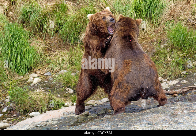 Alaskan Brown Bear (Ursus arctos middendorffi, Ursus middendorffi). Two individuals fighting. Mc Neil River - Stock Image