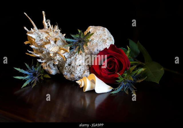 Spiny Spondylus  cemented to its rock substrate in a still life with a red rose and a Thatcheria shell contrasting - Stock Image