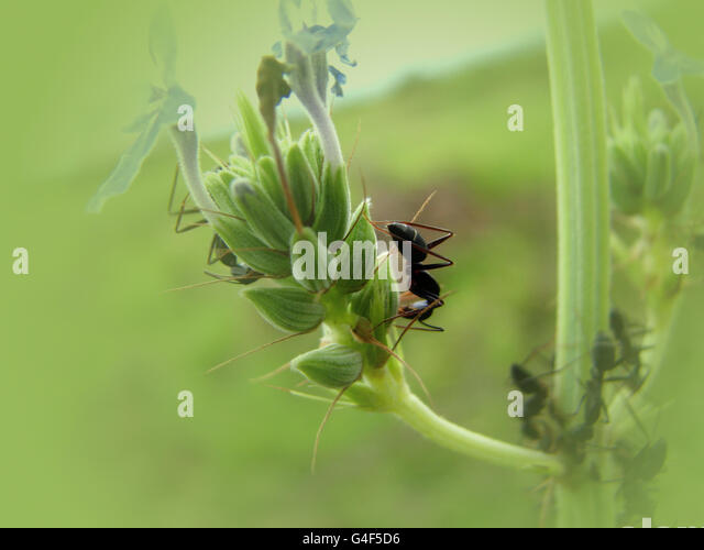 Flower Ant - Stock Image