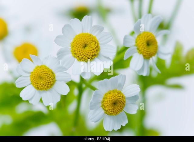 Close up shot of flowering Feverfew - Stock Image