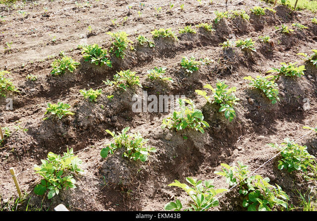 Rows of potatoes in a vegetable garden. - Stock Image