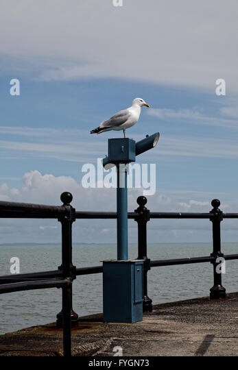 Seagull on a telescope, Mevagissey, Cornwall - Stock Image