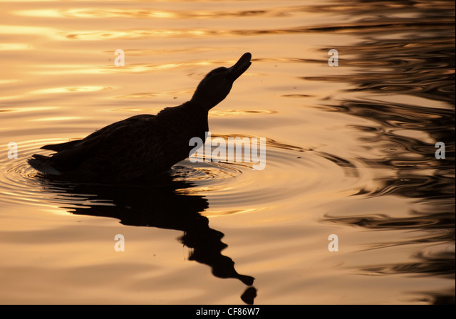Mallard at sunset, WWT London Wetland Centre, UK - Stock Image