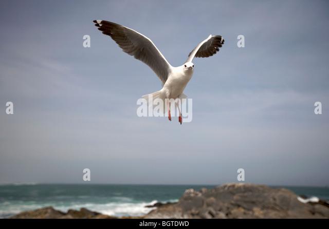 Hartlaub's Gull (Larus hartlaubii) in flight, West Coast, Western Cape , South Africa - Stock-Bilder
