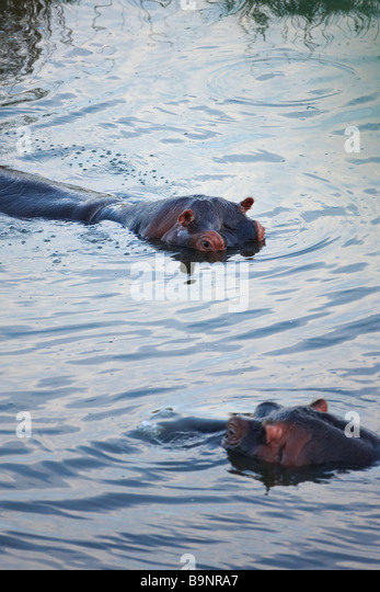two hippopotamus in a river, Kruger National Park, South Africa - Stock-Bilder
