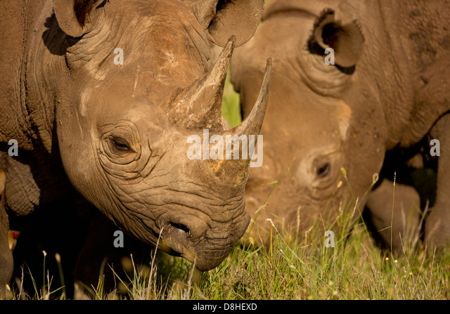 Two Black Rhinoceros.(Diceros bicornis) Kenya - Stock Image