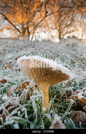 Close-up of Fungi covered in frost. - Stock Image