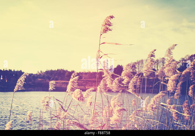 Vintage toned reeds by a lake, nature background with shallow depth of field. - Stock-Bilder