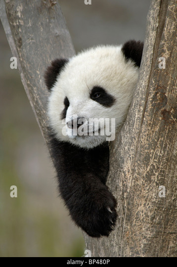Young giant panda cub, in fork of tree Wolong China - Stock Image