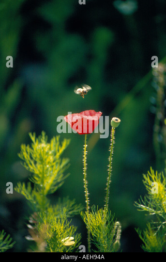 poppy with bee. Photo by Willy Matheisl - Stock Image